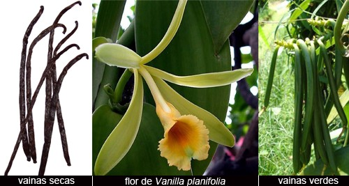 Vainilla, orquidea