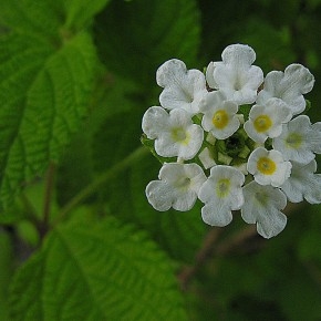 Oregano Mexicano (Lippia graveolens) - photo by Dick Culbert from Gibsons, B.C., Canada