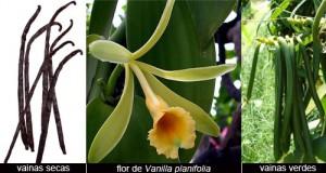 vainilla_orquidea_grupogons-blogspot-com-es