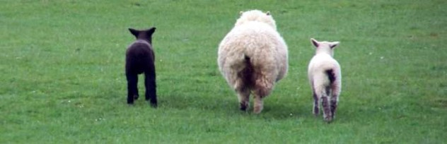 nueva zelanda ovejas